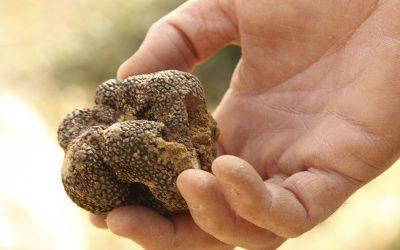 La truficultura: un cultivo de gran inversión en la provincia de Soria
